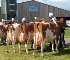 Ayrshire cattle